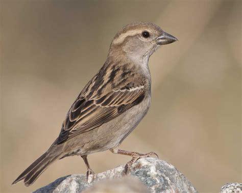 gray living house sparrow audubon field guide