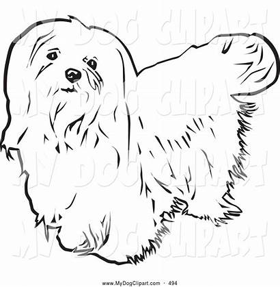 Dog Maltese Coloring Clip Haired Upwards Looking