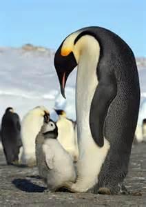 Emperor Penguin Eating Fish