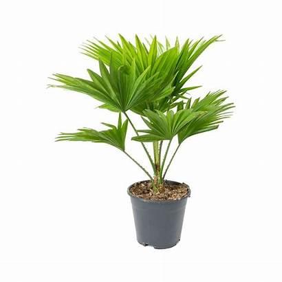 Plants Livistona Palm Purifying Air