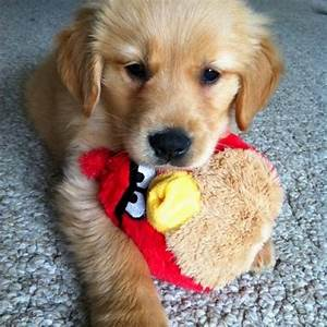 136 best images about Dog toys for Golden retrievers on ...