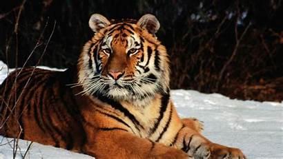 Tiger Wild Cat Wallpapers Winter Sky Jquery