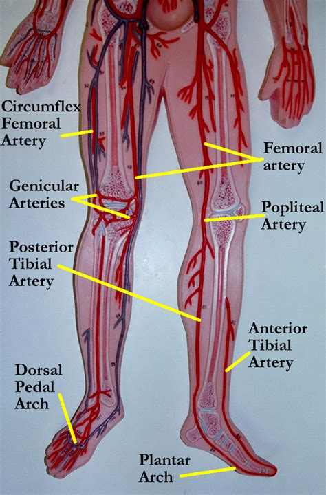 For example, new capillaries permeate the muscles of a. Pin by Robin Decker on Anatomy and Physiology   Anatomy, physiology, Blood vessels anatomy, Anatomy