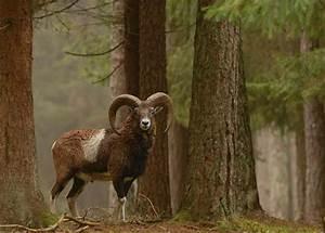 Was Ist Ein Widder : mufflon kleinanzeigen tiermarkt deine ~ Eleganceandgraceweddings.com Haus und Dekorationen