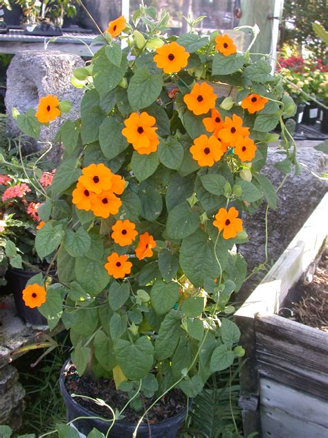 vining plants for sun thunbergia orange beauty is a climbing vine that can do well in full sun or partial afternoon