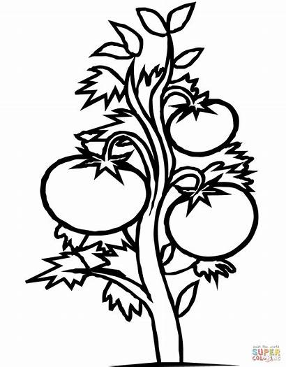 Coloring Tomato Plant Pages Printable Drawing