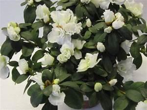 Pflanze Große Blätter : zimmerpflanzen bl hend indoor blumen pflanzen floristik ~ Markanthonyermac.com Haus und Dekorationen