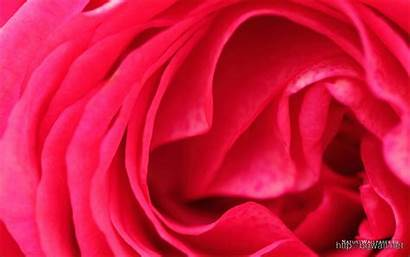 Rose Petals Background 1280 Nature Bgwall