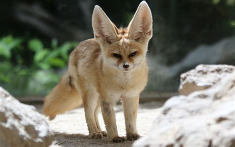 fennec fox photography kizas page