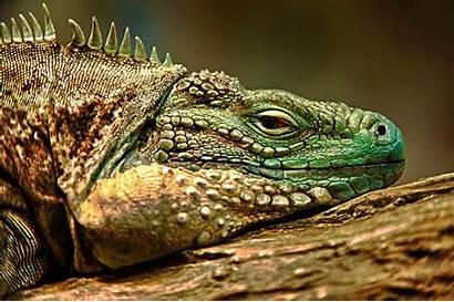 Iguana Reptile Lizards Animals Macro Ingrid Johnsen