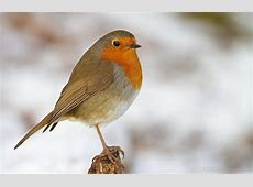 National Bird Of United Kingdom European Robin