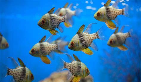 pajama cardinal fish  aquarium club