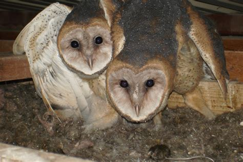 Do Barn Owls Eat Cats by Barn Owl Removal Houston Dallas Fort Worth 911 Wildlife