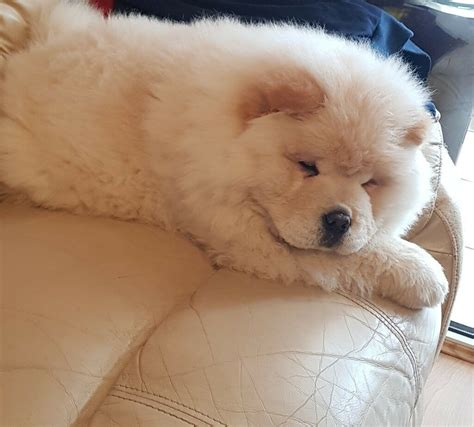 chow chow puppies  spalding lincolnshire gumtree