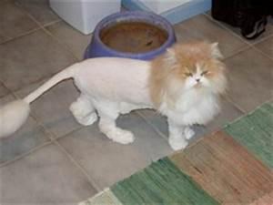 VT105 Cat Breeds flashcards | Quizlet