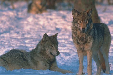 Yellowstone National Park Wolf
