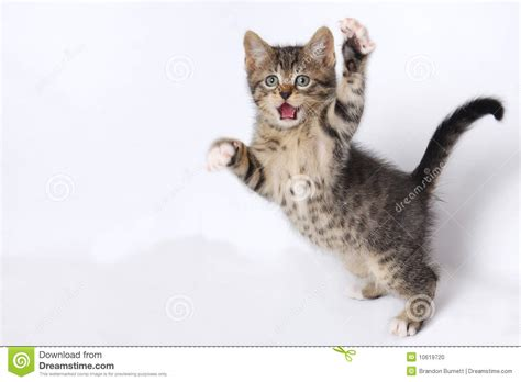 cute kittens playing  white background stock photo