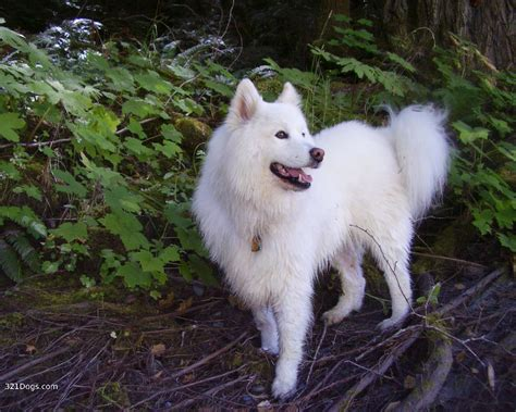 Samoyed Dog Breed Top Dog Directory