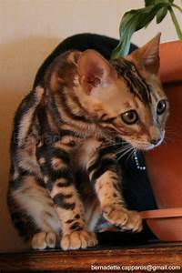 Cats La : 50 best les chatons d 39 elle chatte bengal silver spotted images on pinterest kittens cat and cats ~ Orissabook.com Haus und Dekorationen