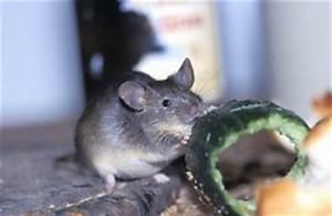 Mäuse Im Keller : m use fangen aber wie ~ Markanthonyermac.com Haus und Dekorationen