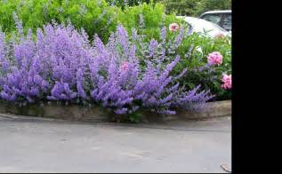 cat mint walker s low catmint nepeta faassenii dmrc d