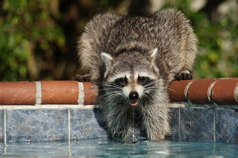 Raccoon Backyard by Labs View Topic My Pet Raccoon In My