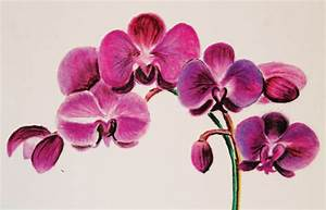 Beautiful Orchid Colored Pencil Drawing Art by JoelleTheArtist