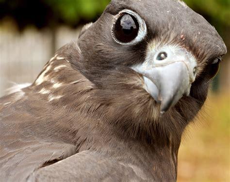 falcon saker bird  photo  pixabay