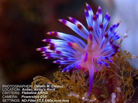 flabellina rubrolineata sea world sea creatures