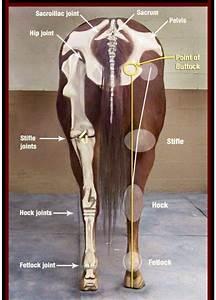 19 Best Horse Anatomy Images On Pinterest