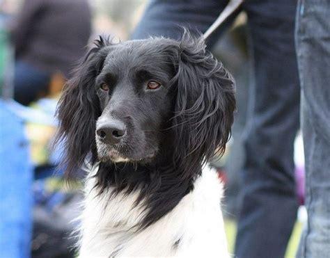 large munsterlander dog breed description hunting dog