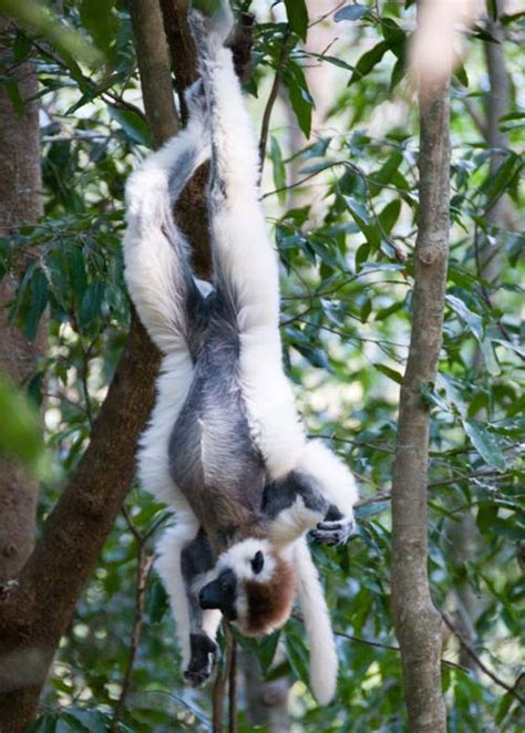 lemurs  lemurs fruit bats  owl california