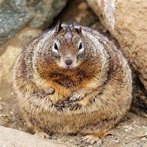 Fattest Squirrel Ever   Funny Animal Club