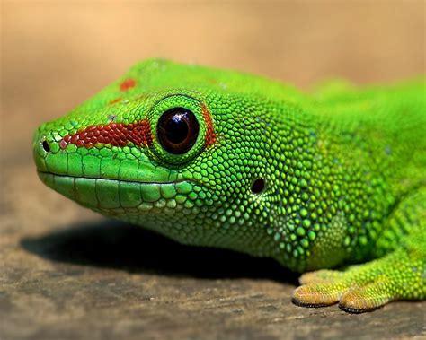 Gecko Hd Wallpapers  Hd Wallpapers Blog