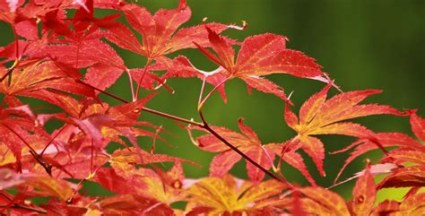 maple leaves japan all about the japanese maple growing family