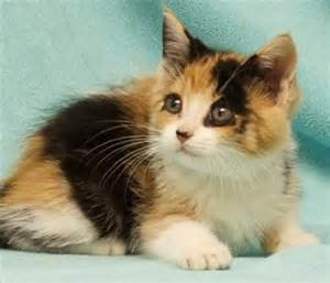 petsmart cats for adoption pin by jasinski on things i want gift ideas to
