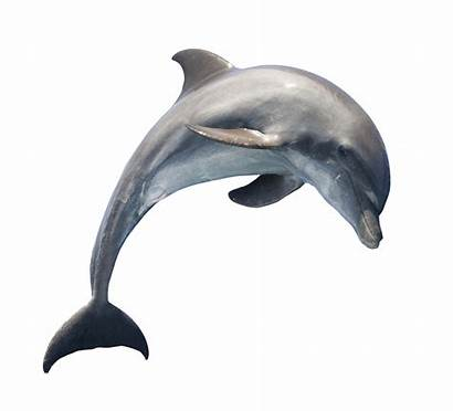 Dolphin Transparent Fish Background Clipart Jumping Pngpix