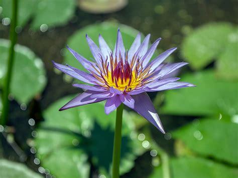 blue lotus flower  benefits  safety