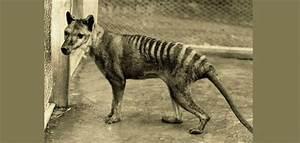 'Sightings' of extinct Tasmanian tiger spark hunt