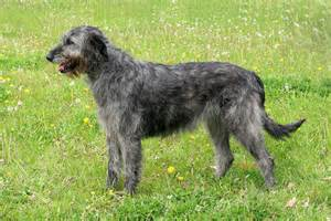7 popular irish dog breeds 2 you ve probably never heard