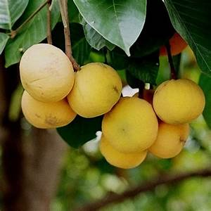 The Earth of India: All About Santol