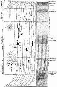 Minute Structure Of Cerebral Cortex