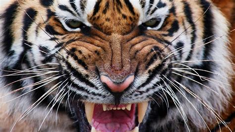 tiger hd wallpaper background image  id