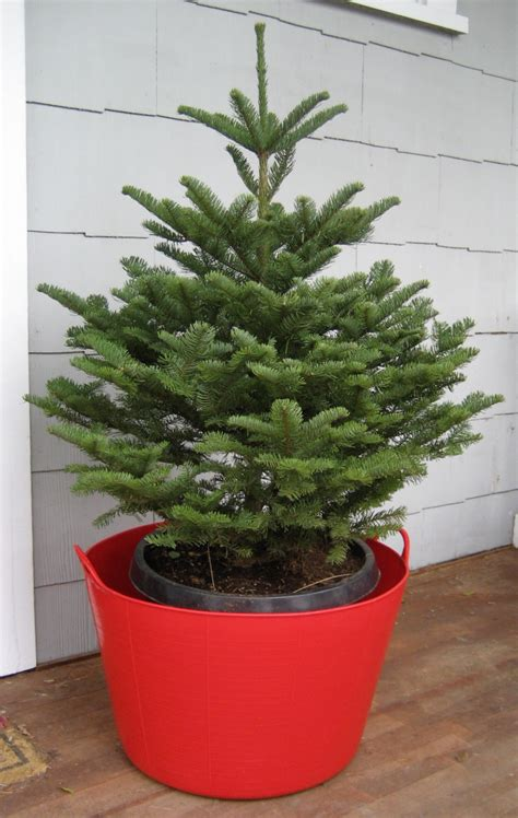 living christmas tree an evidence based gardener