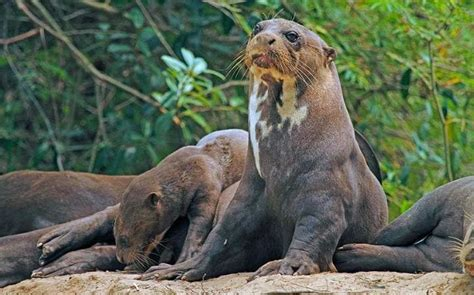 giant otter facts history  information  amazing