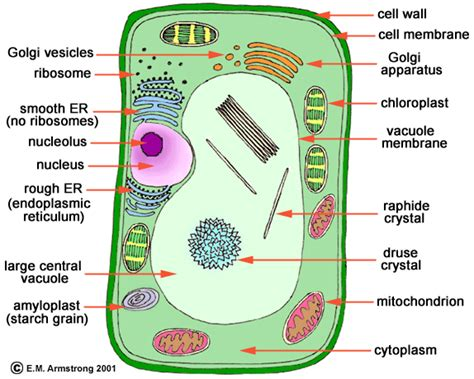 plant  animal cells parts   functions grade