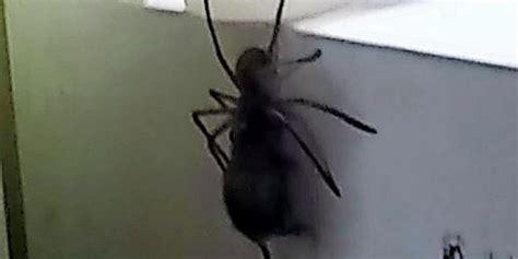 Wie Schnell Ist Eine Maus by Riesige Spinne Schnappt Sich Eine Maus