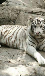White Tiger | Animal Wildlife
