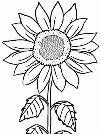 Gambar Bunga Sketsa Matahari Kolase Mewarnai Mudah