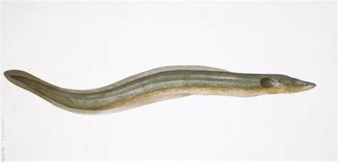 cuisiner une anguille la fin du mystère de la migration océanique des anguilles